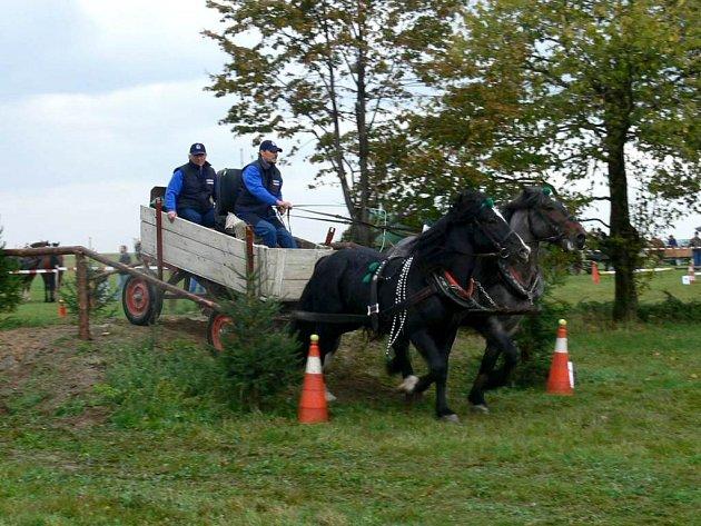 Formanští koně se od svých dostihových příbuzných liší na první pohled.