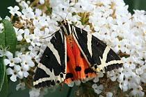 Přástevník kostivalový. Na tohoto černo-bílo-červeného motýla ještě můžete narazit v údolí Moravice.