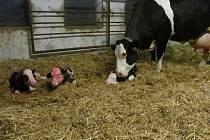 Čerstvě narozená telata – trojčata z mléčné farmy v Kružberku.