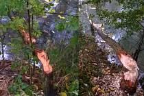Důkaz o přítomnosti bobrů v okolí Moravice.