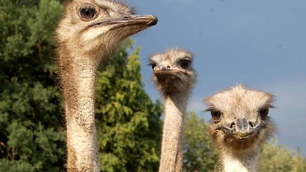 Pštrosy přitahují lesklé předměty, například brýle či objektiv fotoaparátu.