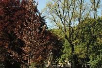 Má přibližně pět metrů na výšku, v pase asi dvacet centimetrů a pochází z Belgie. Když se mu bude dařit, tak se za několik desítek let stane dominantou parku.