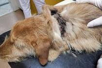 Pes měl rezavý řetěz zařezaný hluboko do krku. Od jisté smrti ho v Melči dělily dny možná týdny.