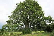 Zlatá lípa u Guntramovic, které jsou městskou částí Budišova nad Budišovkou, je stromem opředeným hned několika pověstmi.