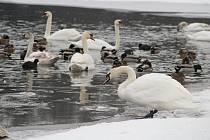 Zatímco v loňském roce na Stříbrném jezeře hynula jedna labuť za druhou, nyní je v Opavě klid.