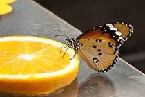 Výstava tropických motýlů potrvá celý červen.
