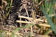 Hraboš polní páchá škody také na ječmeni a ozimé pšenici.