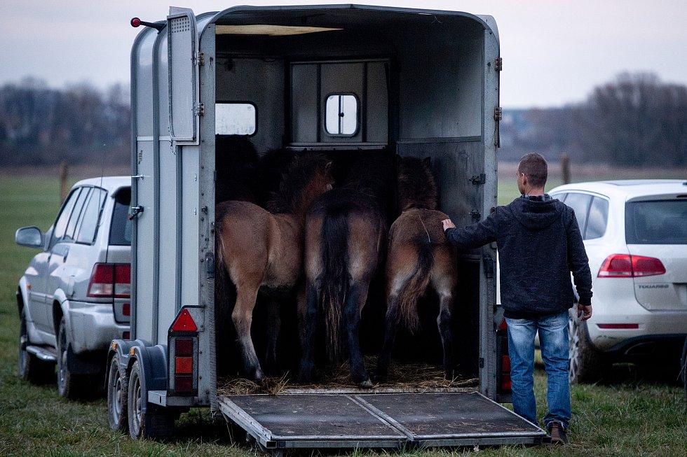 Vypuštění exmoorští pony do ohrady následně budou vypuštěni do téměř padesátihektarové volné krajiny, 22. listopadu 2019 v Kozminích.