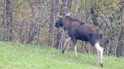 Na Opavsku byl před pár dny spatřen samec losa evropského.