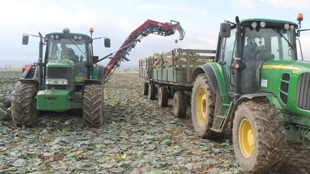 Výroba Otického kysaného zelí začíná vlastně už tady na poli, kde jsou hlávky vytrhány kombajnem ze země a naloženy na vlečku traktoru.
