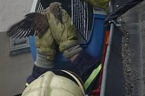 V pondělí ve čtvrt na pět odpoledne vyjeli opavští hasiči k netypickému zásahu. Městská policie nahlásila, že se na ulici Lepařova nachází hnízdo s mláďaty poštolek.