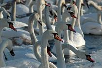 Lidé krmí labutě na Stříbrném jezeře. Lákají je sem nejen desítky vznešených věčně hladových ptáků, kteří už tradičně na jeho hladině zimují, ale také skvělé možnosti bruslení.