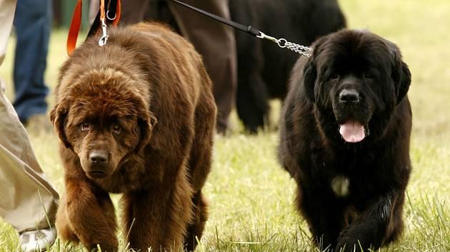 Výstava novofoundlandských psů v Hradci nad Moravicí.