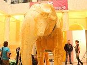 V průběhu příštího měsíce se v Historické výstavní budově Slezského zemského muzea bude intenzivně pracovat na dokončení velkého preparátu slona indického.