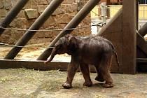 Miláček návštěvníků ostravské zoo, nedávno narozené slůně, by mohl mít z padesáti tisíc připutovaných z Opavy radost. Kdyby si to tedy uvědomoval.
