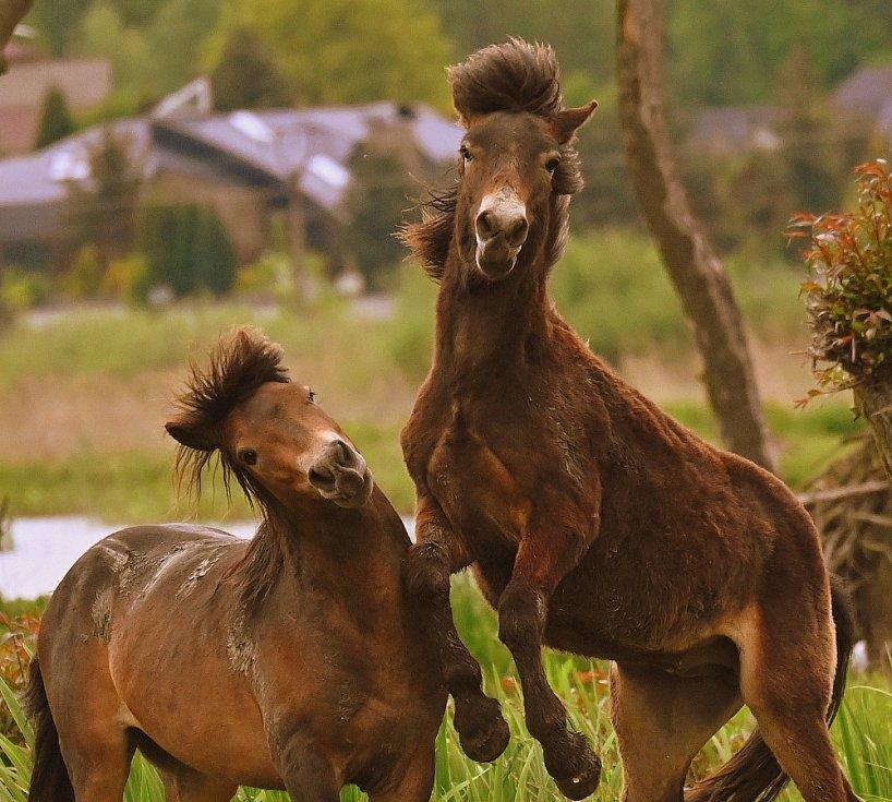 Krásní exmoorští poníci na Kozmických ptačích loukách.
