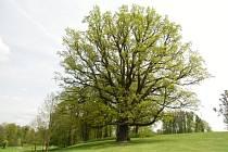 Mezi dvanáctkou finalistů v celostátní anketě Strom roku 2015 je také jeden ze zámeckého parku v Šilheřovicích.