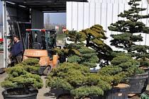 Některé z těchto bonsají se stanou součástí japonské zahrady v Opavě.