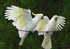 Pár vzácných kakadu žlutočečelatých. Ilustrační foto.