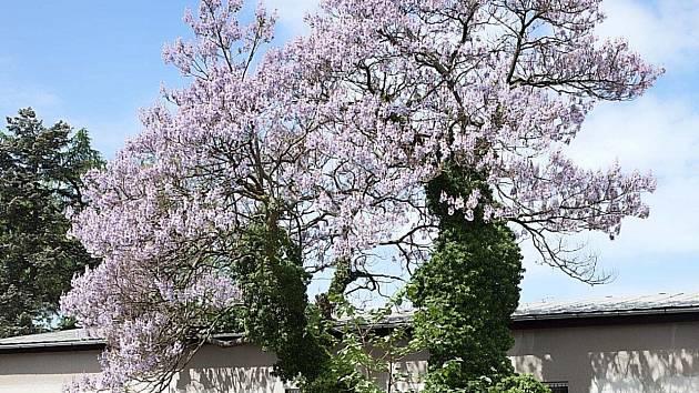 Unikátní stromy vzbuzují u Opavanů velký zájem.