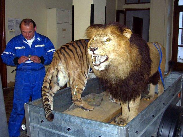 Výstavu kočkovitých šelem příští týden otevře Slezské muzeum.