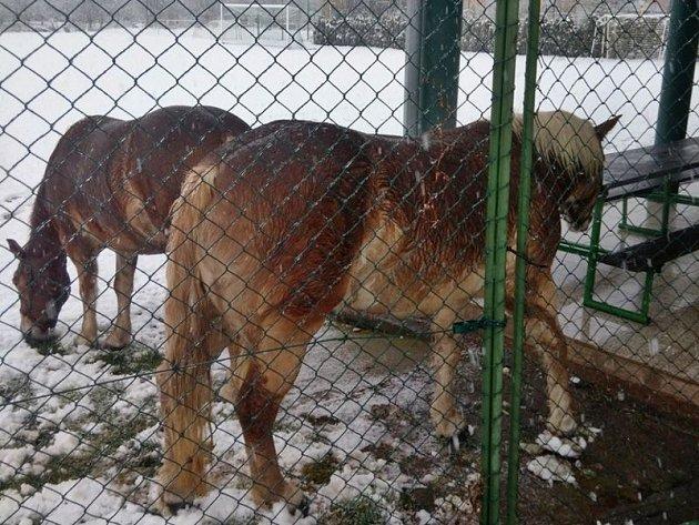 Koně byli uzavřeni na tenisovém kurtu, než si je vyzvedl jejich majitel.