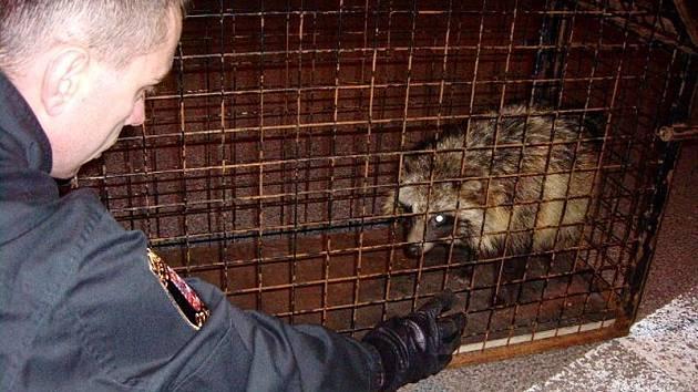 Psíka mývalovitého odchytávali strážníci městské policie koncem dubna.