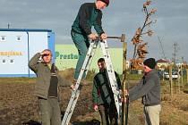 Na úseku dlouhém čtyři sta metrů bylo vysázeno 28 vzrostlých stromů dubu zimního.