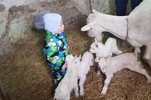 Málovídaný jev se udál ve Velkých Heralticích. Koza místní chovatelky má pět kůzlat.