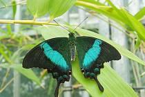 Krásu exotických motýlů můžete od zítřka obdivovat v novodvorském arboretu.