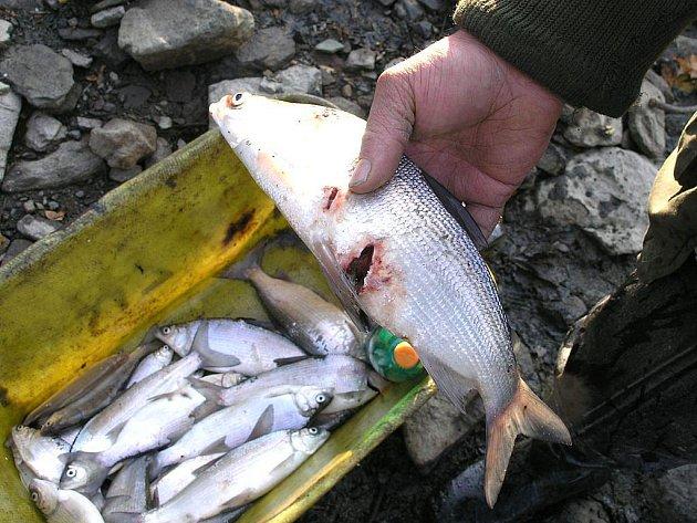Kormorán likviduje malé i velké ryby. Ty, které není schopen spolknout, prostě jen vyžere a nechá na břehu.