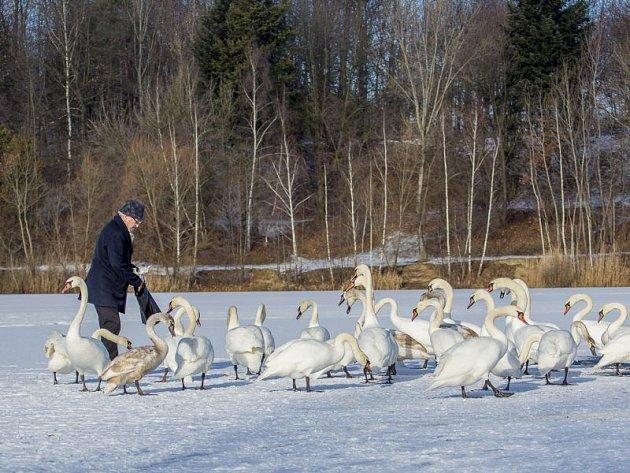Labutě na Stříbrném jezeře v Opavě. Ilustrační foto.
