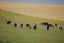 V úterý se stádo páslo na stejné louce, kde došlo k útoku, ale agresivní býk už byl odstavený a zavřený.