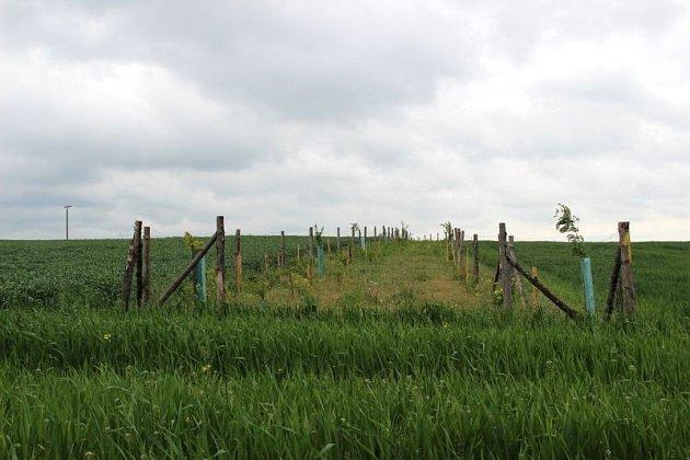 Alej uprostřed pole na horizontu poblíž Suchých Lazců lemují stromy po obou stranách.