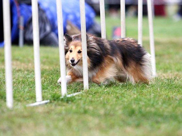 Šeltie Faust běhá agility s velkým nadšením.