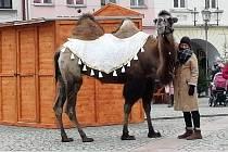 Betlém v Hlučíně doplní živý velbloud.