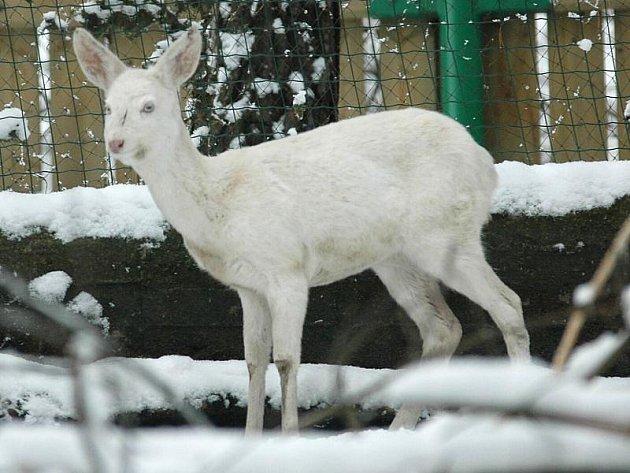 Albínka. Tak vypadá jednoroční bílá srnka pravého albína. Fotografie pochází z děčínské zoo. Srnka se zde letos v zimě dostala poté, co ji pokousali psi.