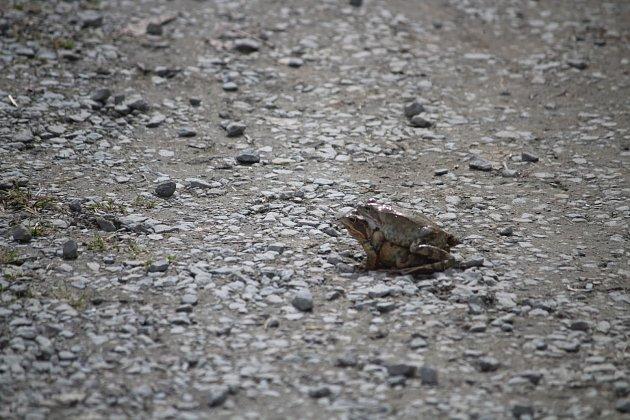 Migrace žab začala koncem března.