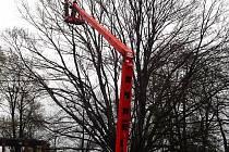 Ve středu ráno začali v opavských Sadech svobody pracovníci Technických služeb Opava ořezávat větve v koruně červenolistého buku. Jak deklaroval odbor životního prostředí magistrátu, nemocný strom bude pokácen a na jeho místo vysazen náhradní.