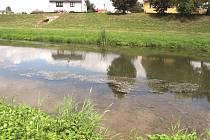 Vodní rostliny po řece Opavě šíří mimo jiné vodní ptáci.