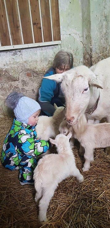 Málo výdaný jev se udál ve Velkých Heralticích. Místní chovatelka má pět kůzlat. Foto: Archiv chovatelky