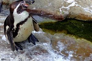 Vydrýsci i tučňáci dostali krmení - ryby.