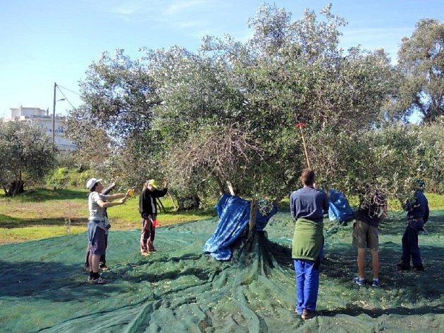 Sklizně oliv mají v Řecku obrovskou tradici.