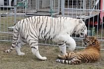 Bílý tygr z Berousek cirkusu Sultán.