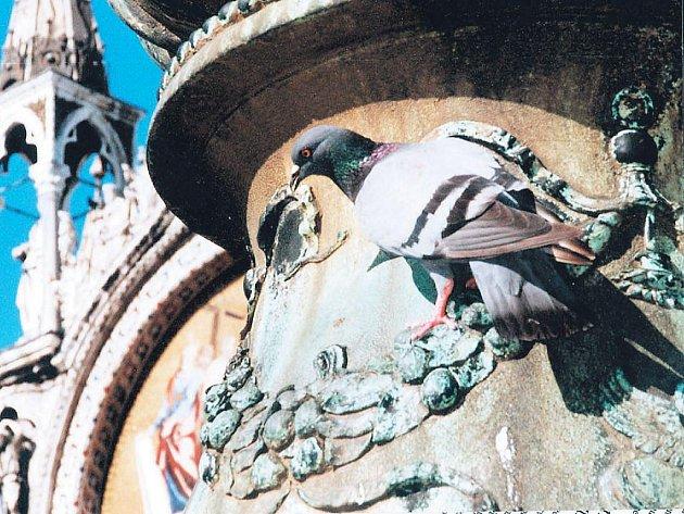 Italští holubi se stali také inspirací pro děti ze Základní školy T. G. Masaryka v Opavě. Vytvořily výstavu Benátčaňata v Opavě.