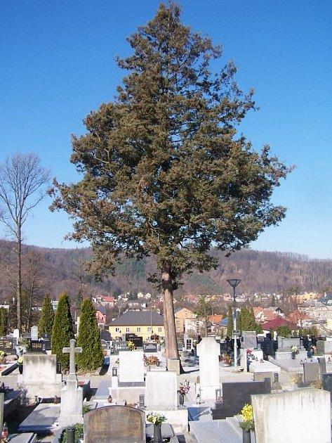 Cypřišek Hrachonosný na hřbitově v Hradci nad Moravicí má podle odborníka okolo padesáti let.