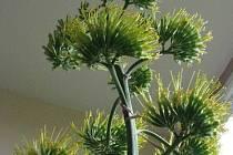 Agave Americana v Neplachovicích vyrostla do výšky 6,20 metru.