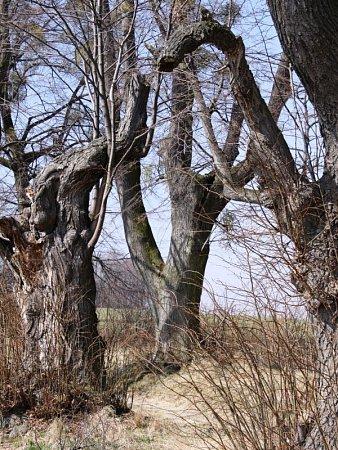 Lípy valeji ze Štemplovce na Hůrku mají svůj specifický vzhled.