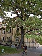 Dub lesní stojící u bývalé Komerční banky na Ostrožné ulici v Opavě.