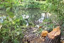 Důkazy činnosti bobrů můžete najít i poblíž vojenského splavu v Opavě.